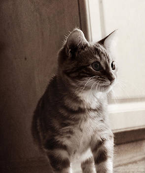Kitten in the Light by Melanie Lankford Photography