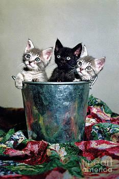 Kittens' Baby Portrait by Jimm Roberts