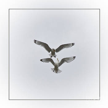 Heiko Koehrer-Wagner - Kittiwakes Dancing in the Air