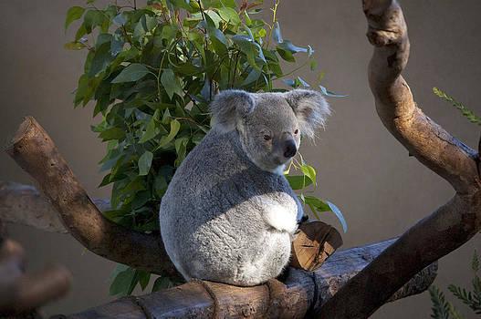 Koala at San Diego Zoo by Brad Emerick