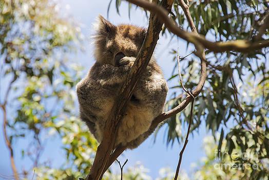 Bob Phillips - Koala Balancing Act