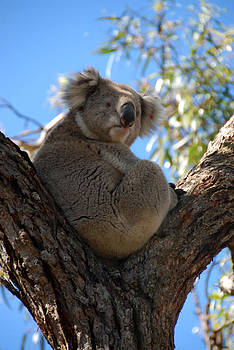 Koalla  by Glen Johnson