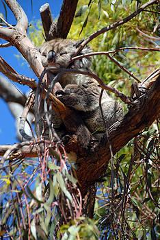 Koalla Sleepy Slumba by Glen Johnson