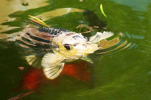 Koi Fish by Jennifer Muller