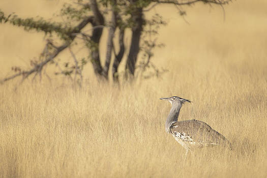 Paul W Sharpe Aka Wizard of Wonders - Kori Bustard Foraging in Long Grass