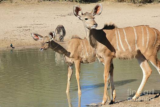 Hermanus A Alberts - Kudu Baby Animals
