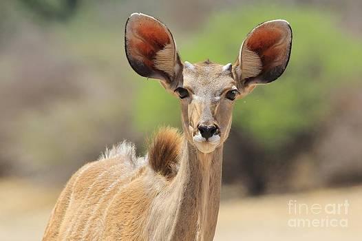 Hermanus A Alberts - Kudu Baby Bull