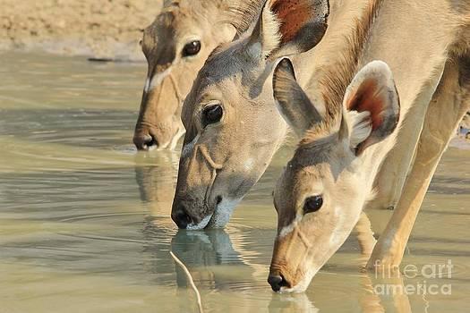 Hermanus A Alberts - Kudu Drink