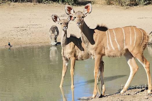 Hermanus A Alberts - Kudu Survival Instinct