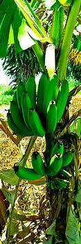 Kukaniloko Bananas by Brian Gibson
