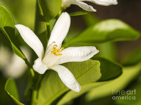 Steven Ralser - kumquat flower