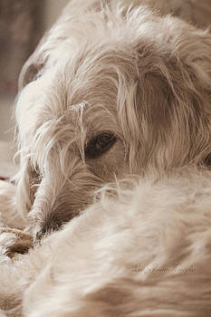 Labradoodle with attitude  by Lisa Jayne Konopka