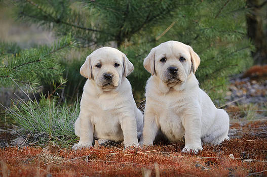 Waldek Dabrowski - Labrador retriever puppies in garden