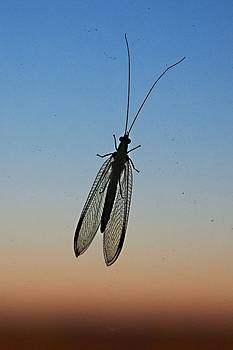 Lacewing by Carl Engman