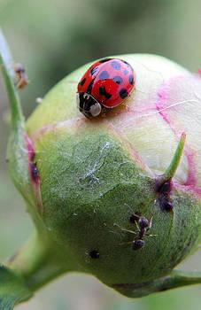 Lady Bug on a Peony Bud by Suzie Banks