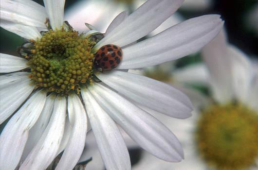 Harold E McCray - Lady Bug on Daisy