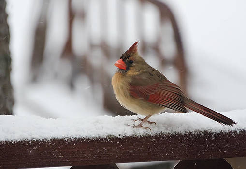 Lady Cardinal in the Snow by Lisa Moore