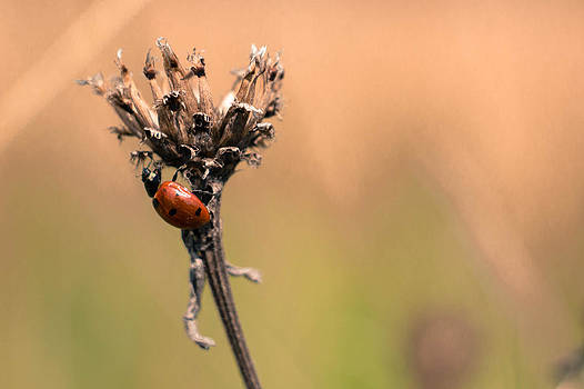 Lady Ladybug by Timothy Lens Attack