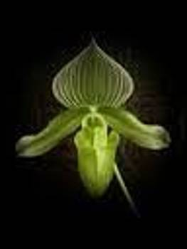 Lady Slipper Orchid by Carolyn Bistline