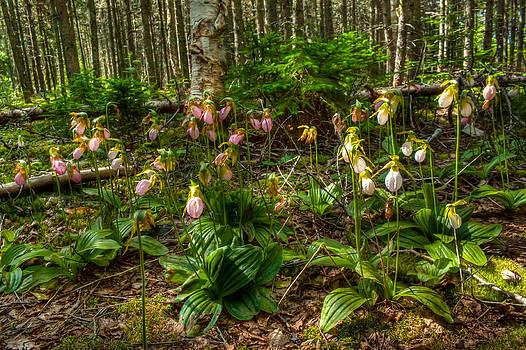 Matt Dobson - Lady Slipper Orchids