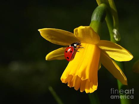 Ladybird on Daffodil by Elizabeth Debenham