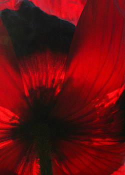 Susan Leake - Ladybird poppy