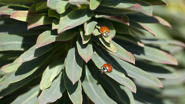 LadyBirds  by Dirk Lightheart