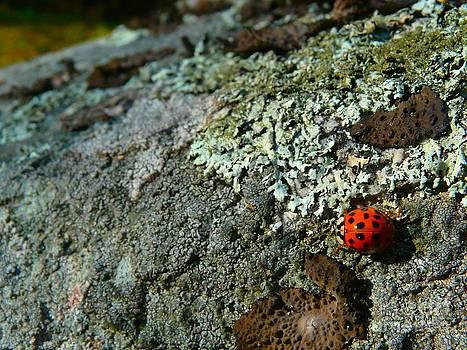 Christine Stack - Ladybug and Lichen On Rock