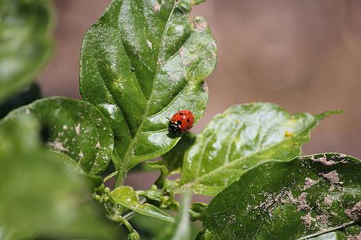 Ladybug by Charlotte Craig