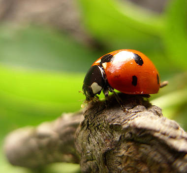 Ladybug by Jonathan Androwski