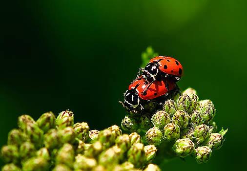 Ladybug Love by Helene Kobelnyk