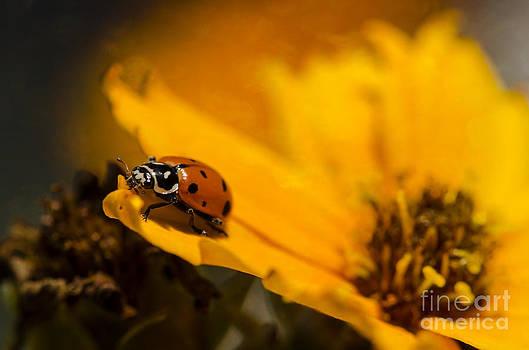 Ladybug by Nicole Markmann Nelson