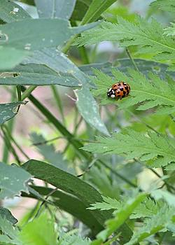 Ladybug on a Leaf by Andrew Miles