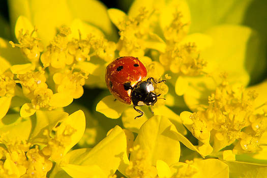 Matt Dobson - Ladybug on a Yellow Flower