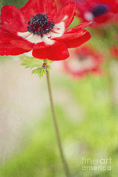 Ladybug on Red Anemone by Susan Gary