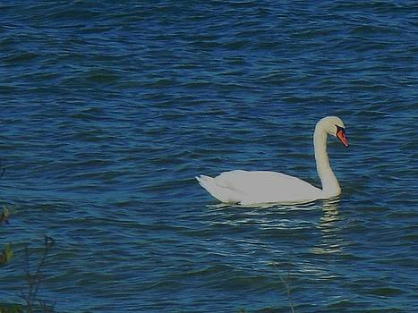 Lake Huron Swan by Fawn Whelahan