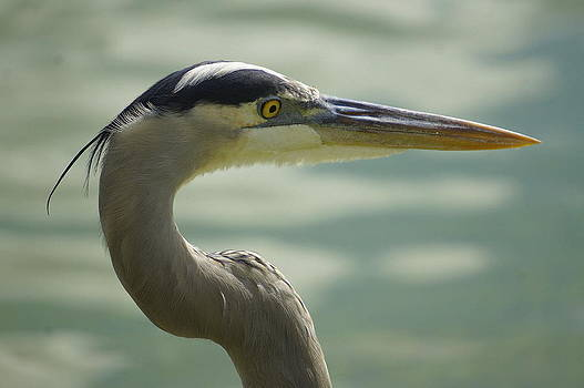 Laurie Perry - Lakeland Egret