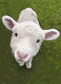 Dennis Cox - Lamb