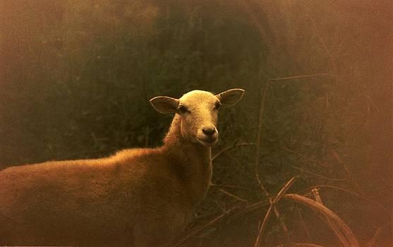 Lamb in the field by Dave  Abreu