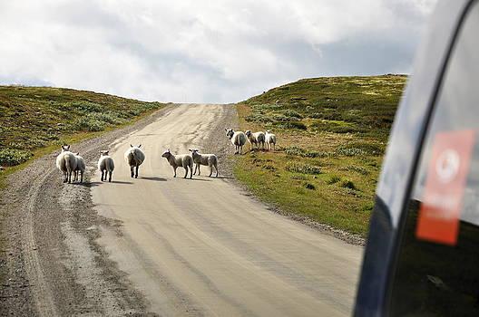 Lamb road by Tomas Mahring