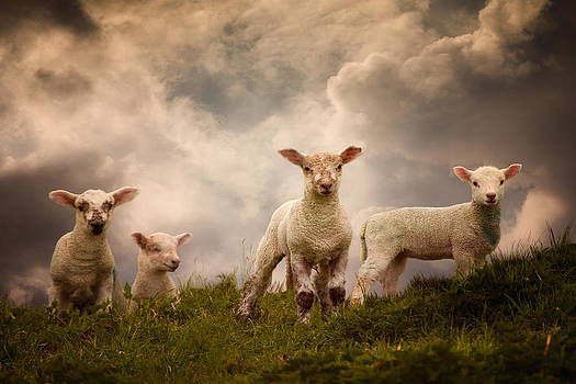 Lambs by Audran Gosling