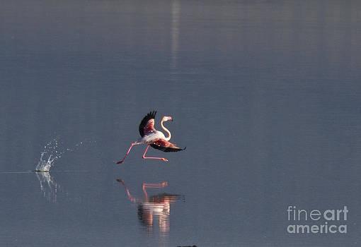 Heiko Koehrer-Wagner - Landing Flamingo