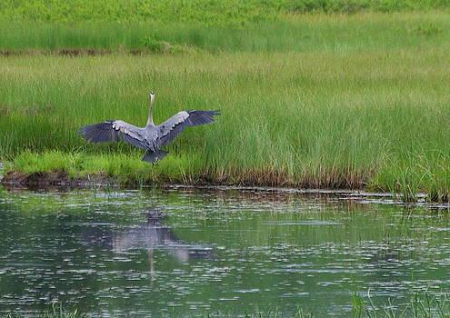 Landing Heron by Lindy Whiton