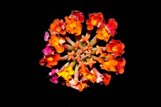 Lantana by Carrie Cooper
