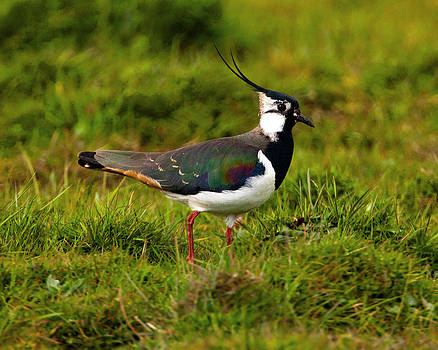 Lapwing by Paul Scoullar