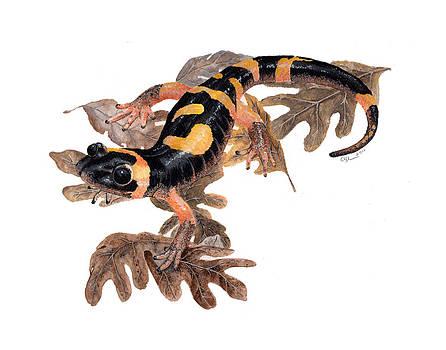 Large blotched salamander on oak leaves by Cindy Hitchcock