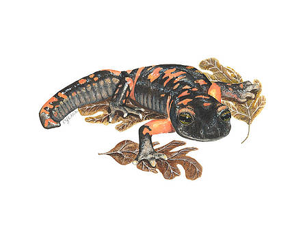Large Blotched Salamander2 by Cindy Hitchcock