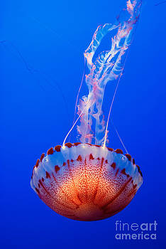 Jamie Pham - Large colorful jellyfish Atlantic Sea Nettle Chrysaora quinquecirrha