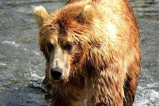 Patricia Twardzik - Large Lumbering Grizzly Bear