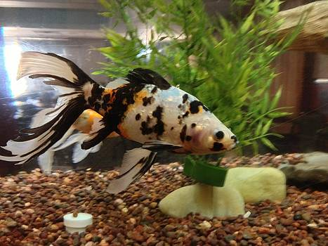Large Speckled Goldfish by Elisabeth Ann